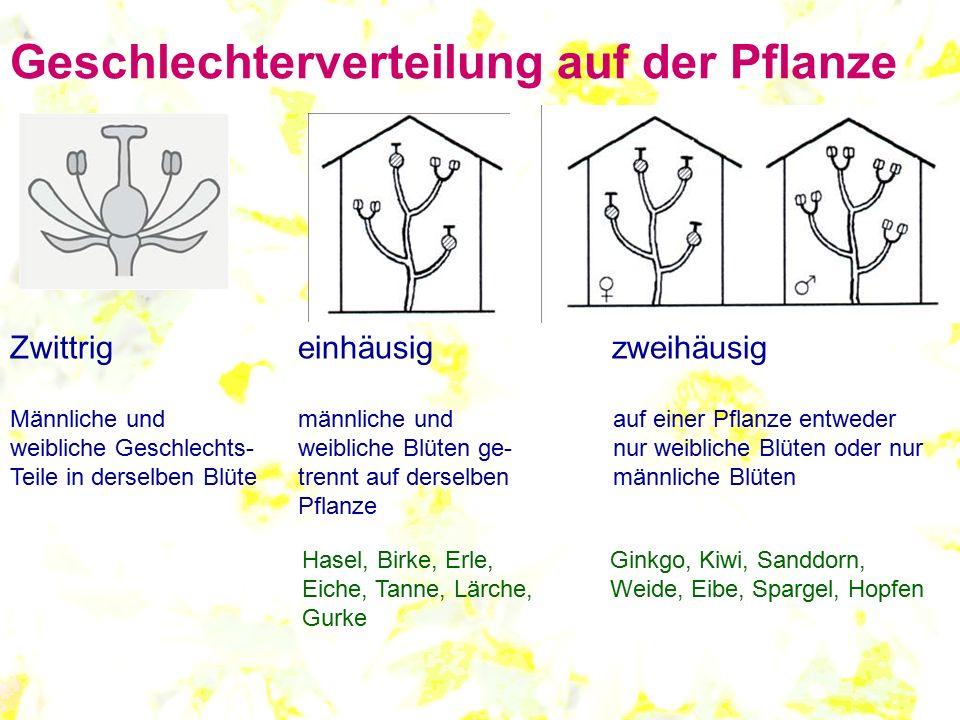 Geschlechterverteilung auf der Pflanze Zwittrigeinhäusig zweihäusig Männliche und männliche und auf einer Pflanze entweder weibliche Geschlechts-weibl