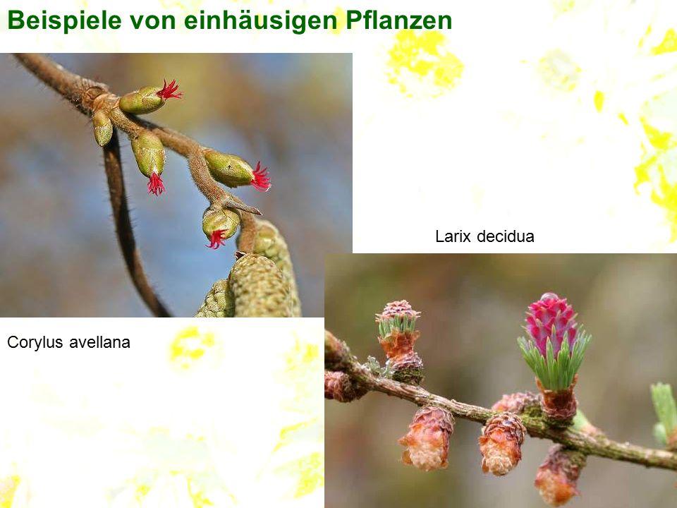 Beispiele von einhäusigen Pflanzen Corylus avellana Larix decidua