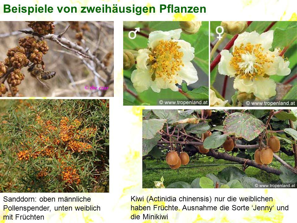 Sanddorn: oben männliche Pollenspender, unten weiblich mit Früchten Kiwi (Actinidia chinensis) nur die weiblichen haben Früchte. Ausnahme die Sorte 'J