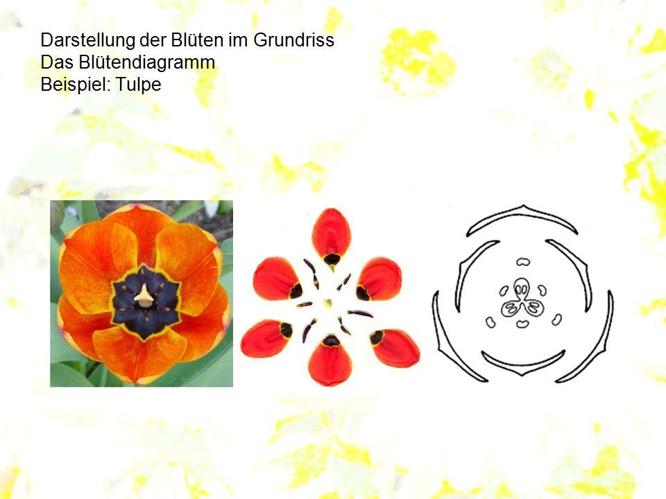 Darstellung der Blüten im Grundriss Das Blütendiagramm Beispiel: Tulpe