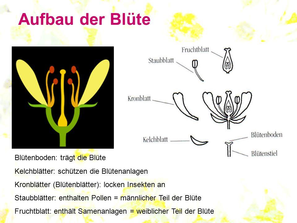 Aufbau der Blüte Blütenboden: trägt die Blüte Kelchblätter: schützen die Blütenanlagen Kronblätter (Blütenblätter): locken Insekten an Staubblätter: e