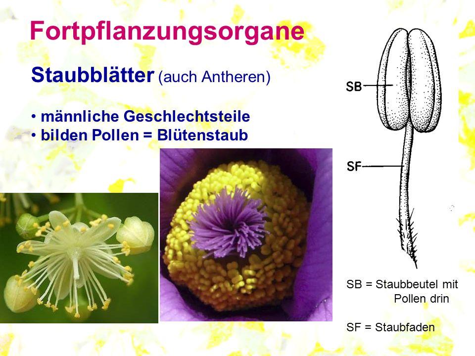 Staubblätter (auch Antheren) männliche Geschlechtsteile bilden Pollen = Blütenstaub SB = Staubbeutel mit Pollen drin SF = Staubfaden