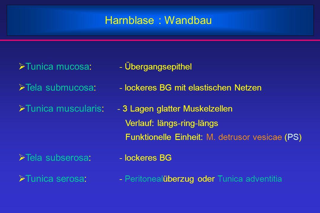 Harnblase : Wandbau  Tunica mucosa: - Übergangsepithel  Tela submucosa: - lockeres BG mit elastischen Netzen  Tunica muscularis: - 3 Lagen glatter