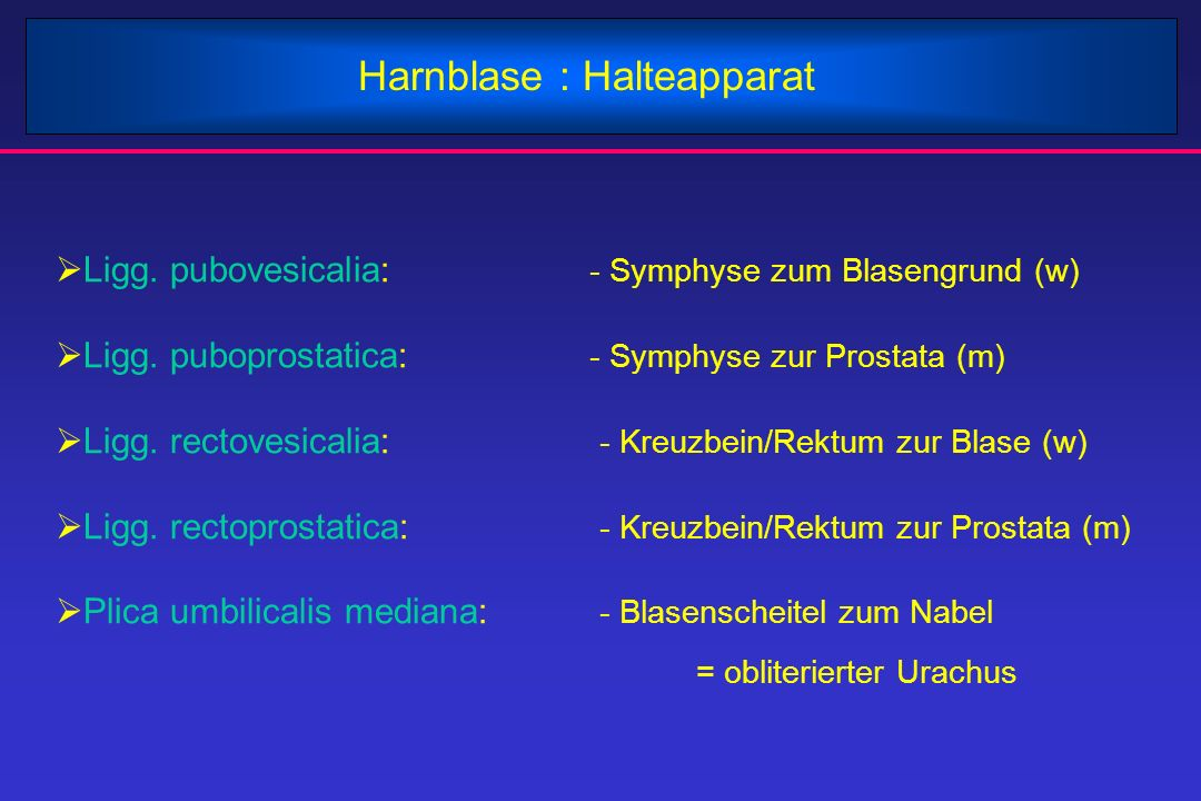 Harnblase : Halteapparat  Ligg. pubovesicalia: - Symphyse zum Blasengrund (w)  Ligg. puboprostatica: - Symphyse zur Prostata (m)  Ligg. rectovesica