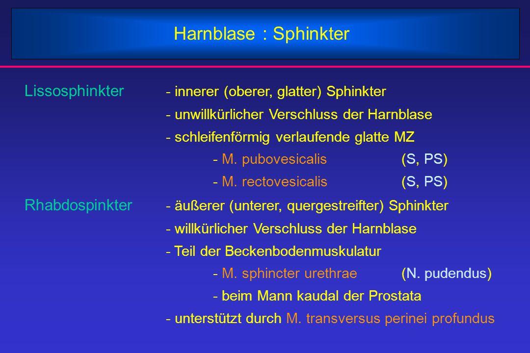 Harnblase : Sphinkter Lissosphinkter - innerer (oberer, glatter) Sphinkter - unwillkürlicher Verschluss der Harnblase - schleifenförmig verlaufende gl