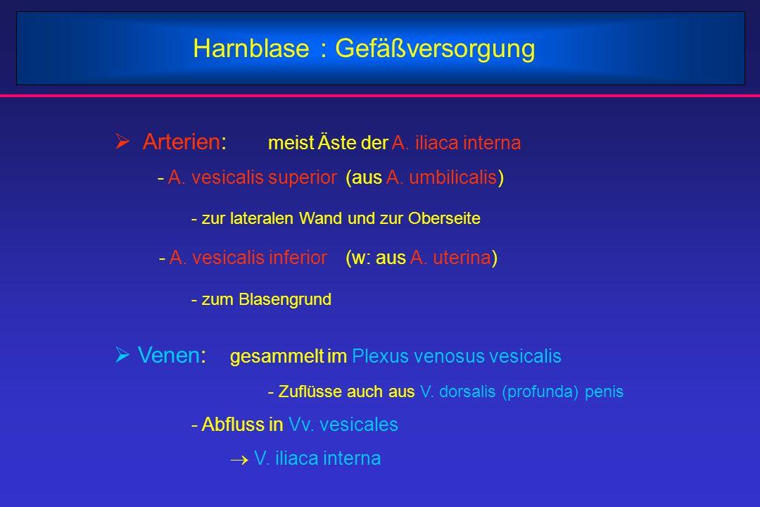 Harnblase : Gefäßversorgung  Arterien: meist Äste der A. iliaca interna - A. vesicalis superior(aus A. umbilicalis) - zur lateralen Wand und zur Ober