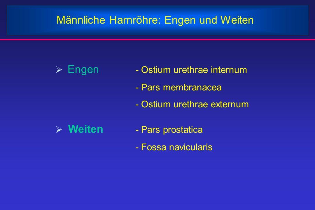 Männliche Harnröhre: Engen und Weiten  Engen - Ostium urethrae internum - Pars membranacea - Ostium urethrae externum  Weiten - Pars prostatica - Fo