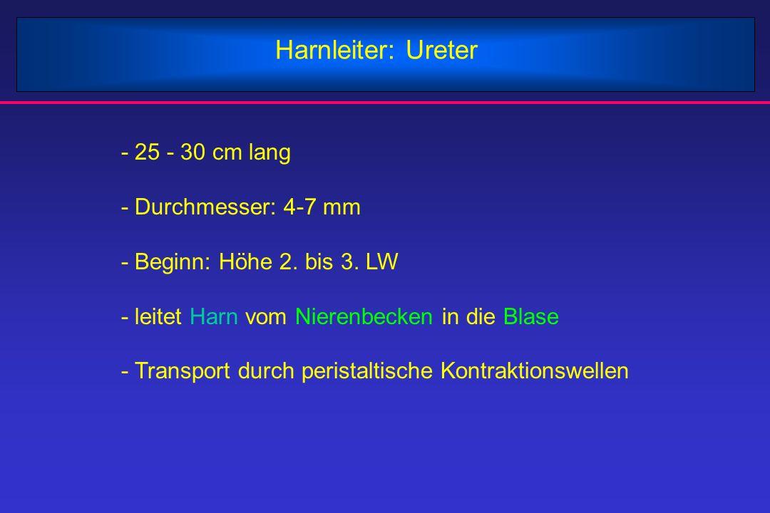 Harnleiter: Ureter - 25 - 30 cm lang - Durchmesser: 4-7 mm - Beginn: Höhe 2. bis 3. LW - leitet Harn vom Nierenbecken in die Blase - Transport durch p