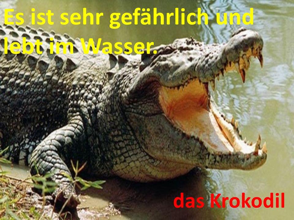 Es ist sehr gefährlich und lebt im Wasser. das Krokodil