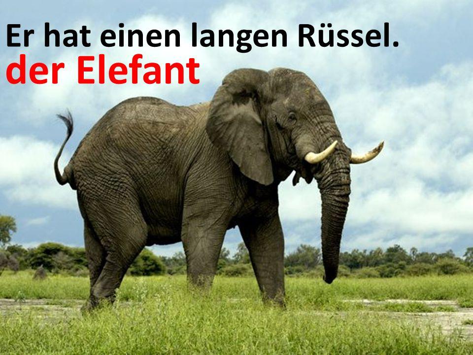 Er hat einen langen Rüssel. der Elefant