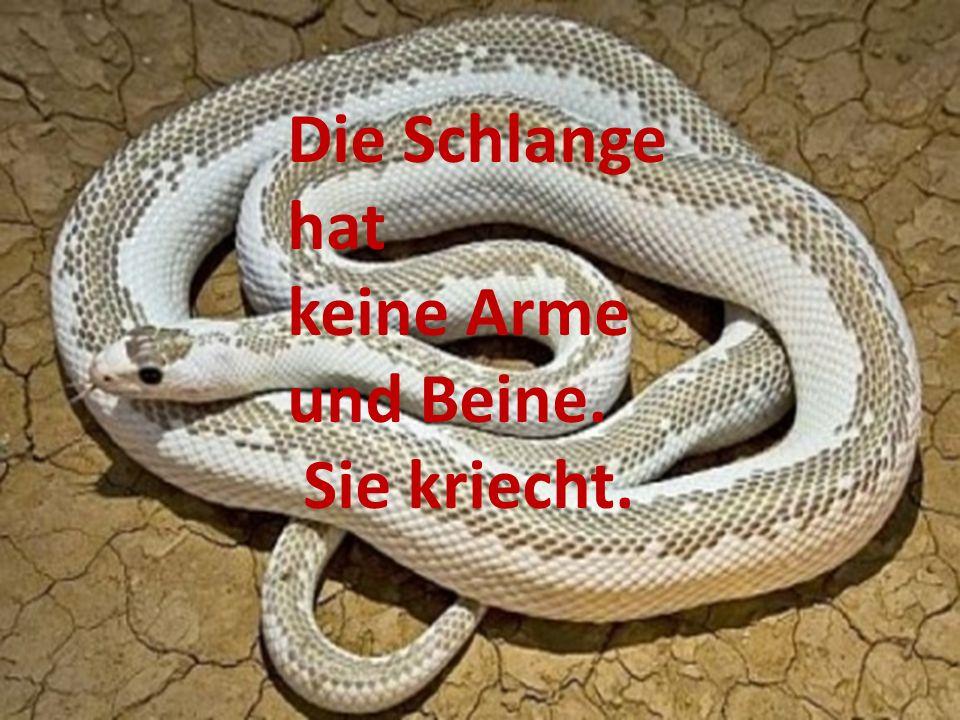 Die Schlange hat keine Arme und Beine. Sie kriecht.
