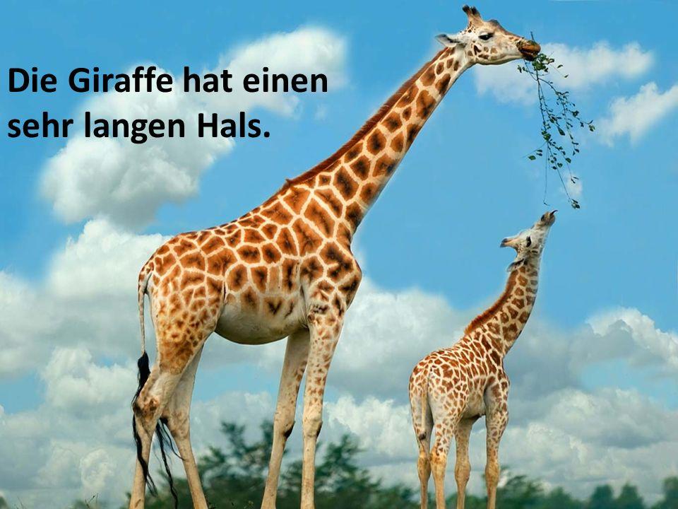 Die Giraffe hat einen sehr langen Hals.