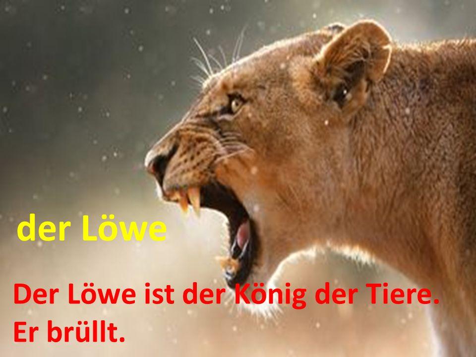 Der Löwe ist der König der Tiere. Er brüllt. der Löwe