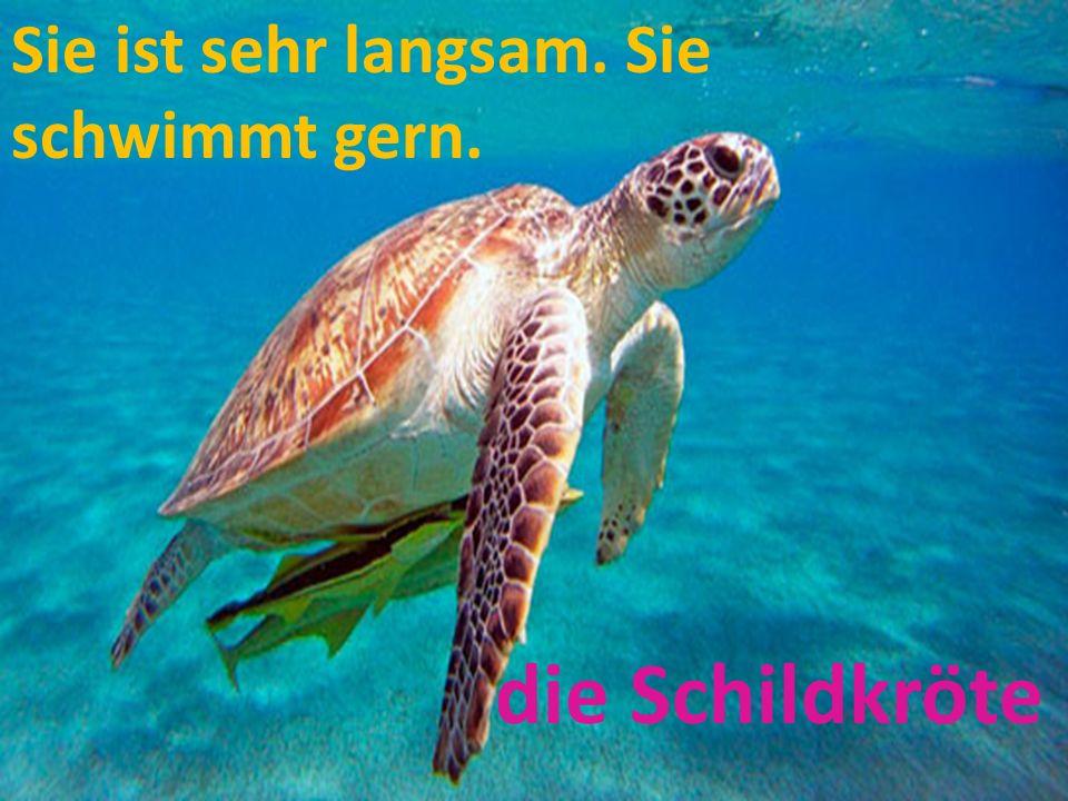 Sie ist sehr langsam. Sie schwimmt gern. die Schildkröte