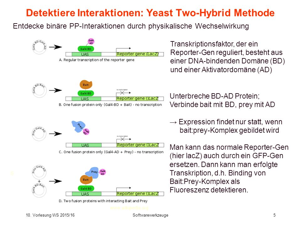 10. Vorlesung WS 2015/16Softwarewerkzeuge5 5 Detektiere Interaktionen: Yeast Two-Hybrid Methode Entdecke binäre PP-Interaktionen durch physikalische W