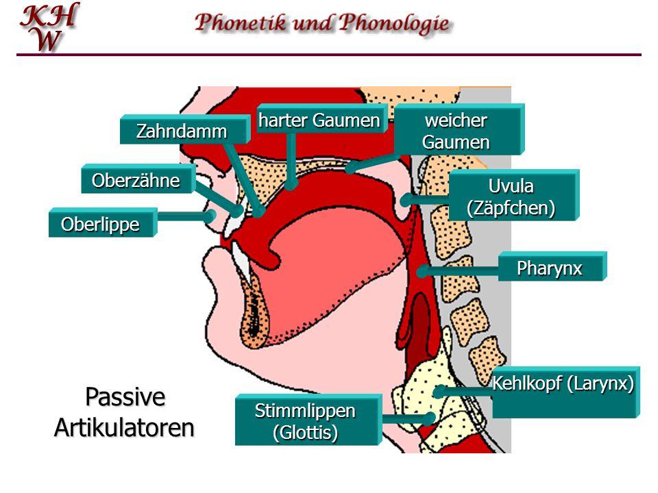 Oberlippe Oberzähne Zahndamm harter Gaumen weicher Gaumen Stimmlippen (Glottis) Pharynx Uvula (Zäpfchen) Kehlkopf (Larynx) Passive Artikulatoren