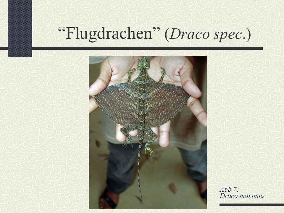"""Flugdrachen"" (Draco spec.) Abb.7: Draco maximus"