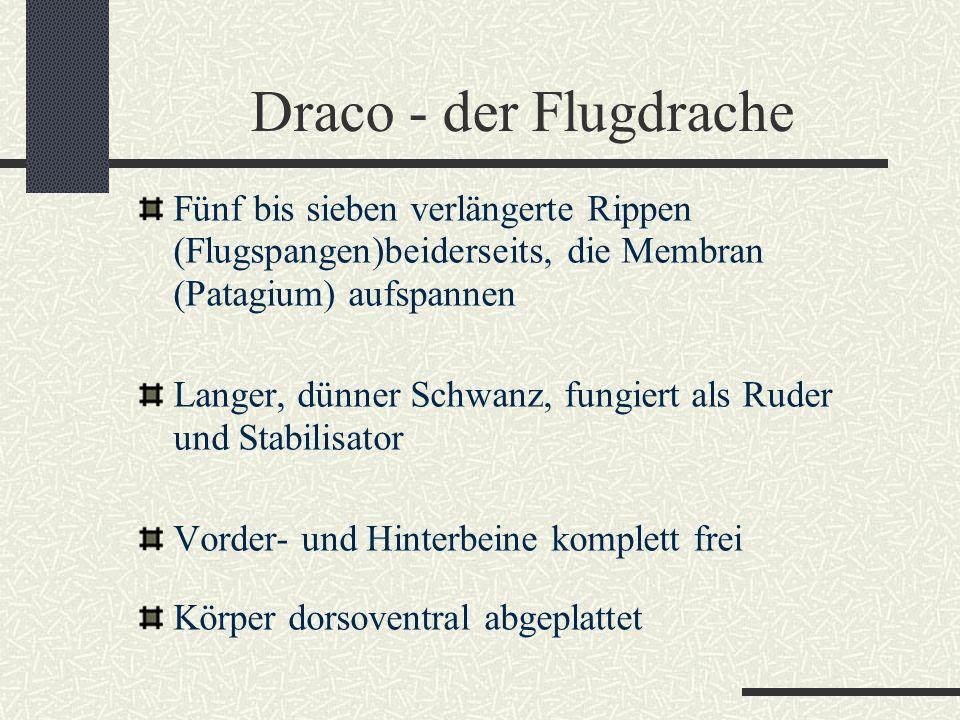 Draco - der Flugdrache Fünf bis sieben verlängerte Rippen (Flugspangen)beiderseits, die Membran (Patagium) aufspannen Langer, dünner Schwanz, fungiert