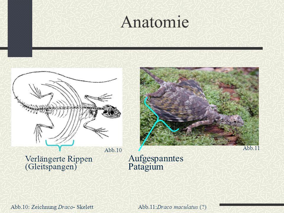 Anatomie Verlängerte Rippen (Gleitspangen) Aufgespanntes Patagium Abb.11:Draco maculatus (?)Abb.10: Zeichnung Draco- Skelett Abb.10 Abb.11