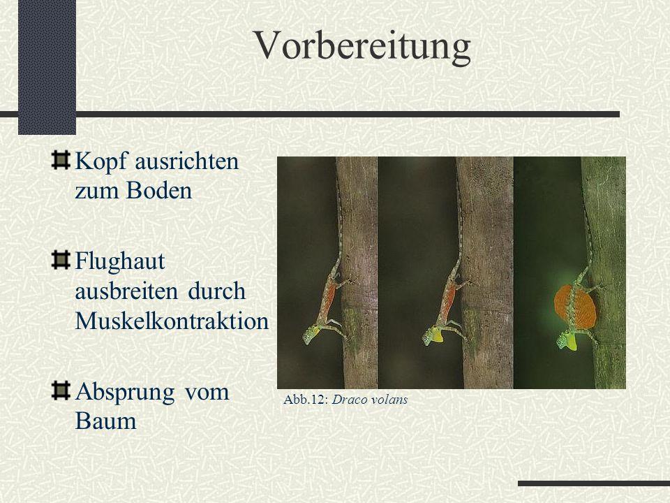 Vorbereitung Kopf ausrichten zum Boden Flughaut ausbreiten durch Muskelkontraktion Absprung vom Baum Abb.12: Draco volans