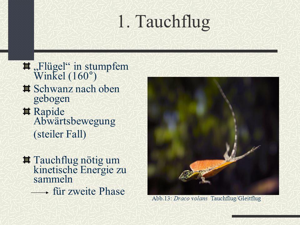"""1. Tauchflug """"Flügel"""" in stumpfem Winkel (160°) Schwanz nach oben gebogen Rapide Abwärtsbewegung (steiler Fall) Tauchflug nötig um kinetische Energie"""