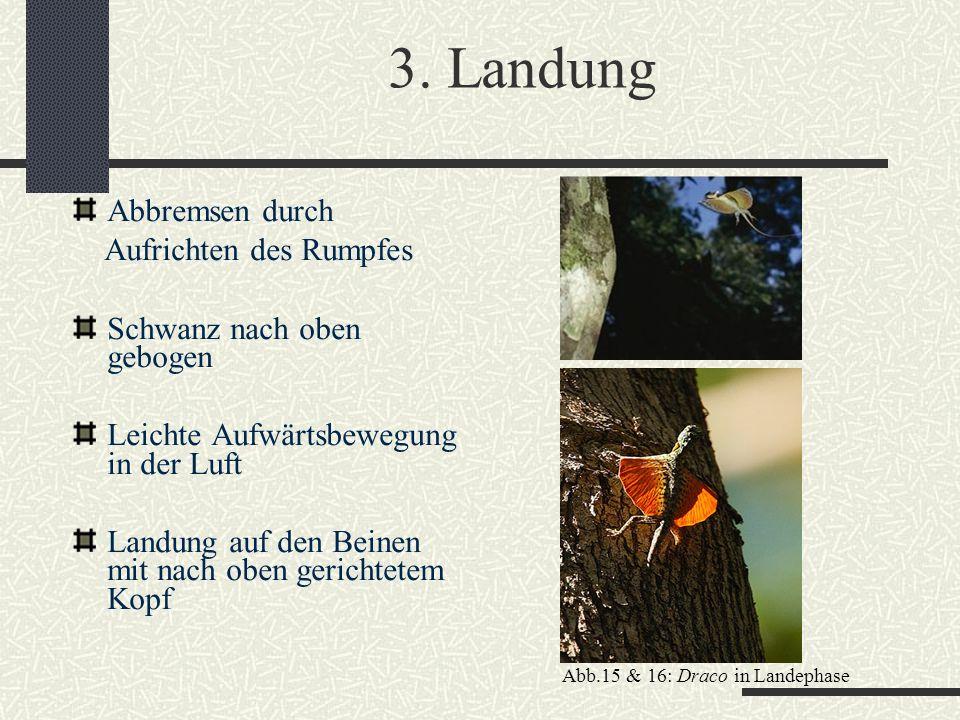 3. Landung Abbremsen durch Aufrichten des Rumpfes Schwanz nach oben gebogen Leichte Aufwärtsbewegung in der Luft Landung auf den Beinen mit nach oben