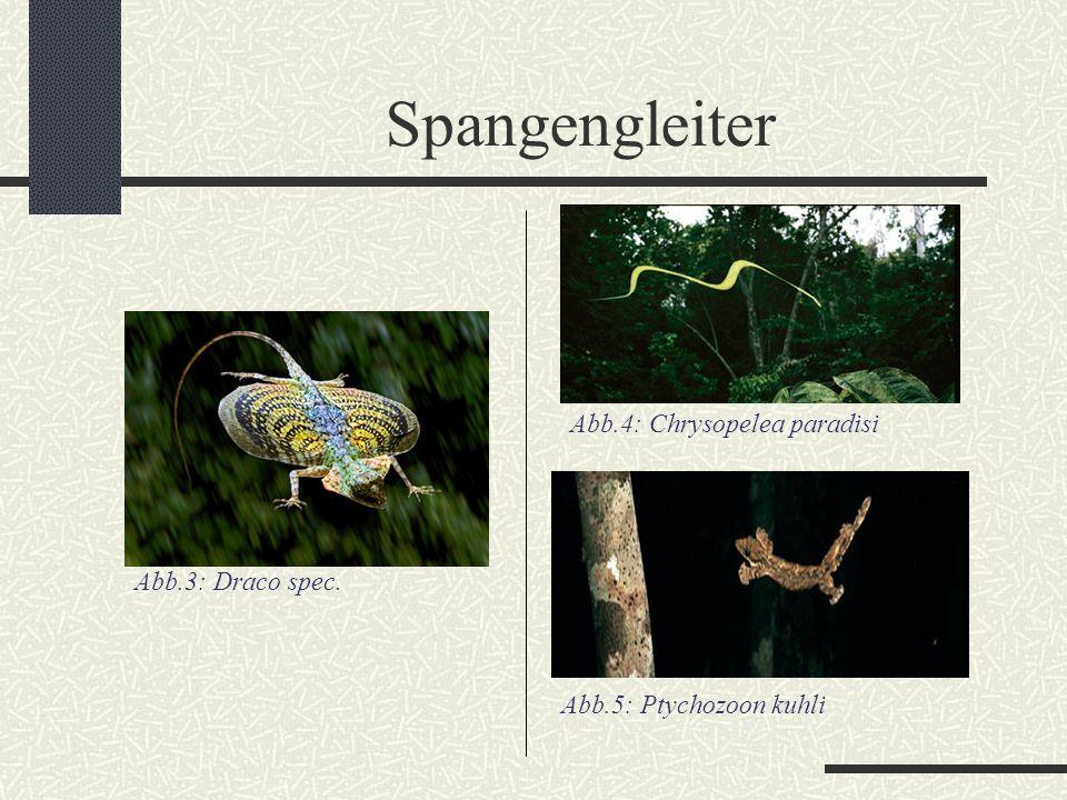 """Fliegende Echsen I Ordnung: Squamata Unterordnung: Iguania Familie: Agamidae Gattung: Draco mit insgesamt 28 bekannten Arten (DGHT) Abb.6: Draco mit eingefalteten """"Flügeln"""