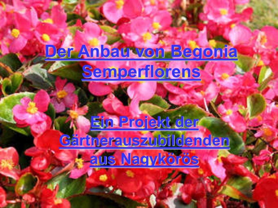 Der Anbau von Begonia Semperflorens Ein Projekt der Gärtnerauszubildenden aus Nagykörös