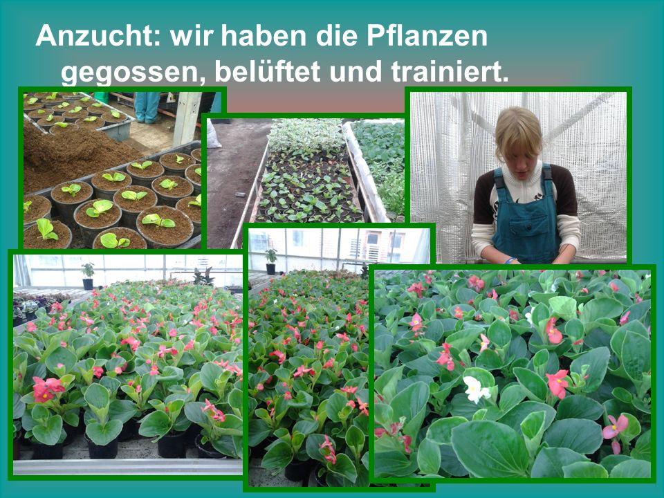 Anzucht: wir haben die Pflanzen gegossen, belüftet und trainiert.