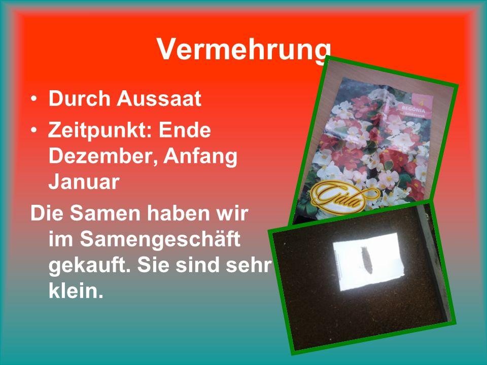 Vermehrung Durch Aussaat Zeitpunkt: Ende Dezember, Anfang Januar Die Samen haben wir im Samengeschäft gekauft.