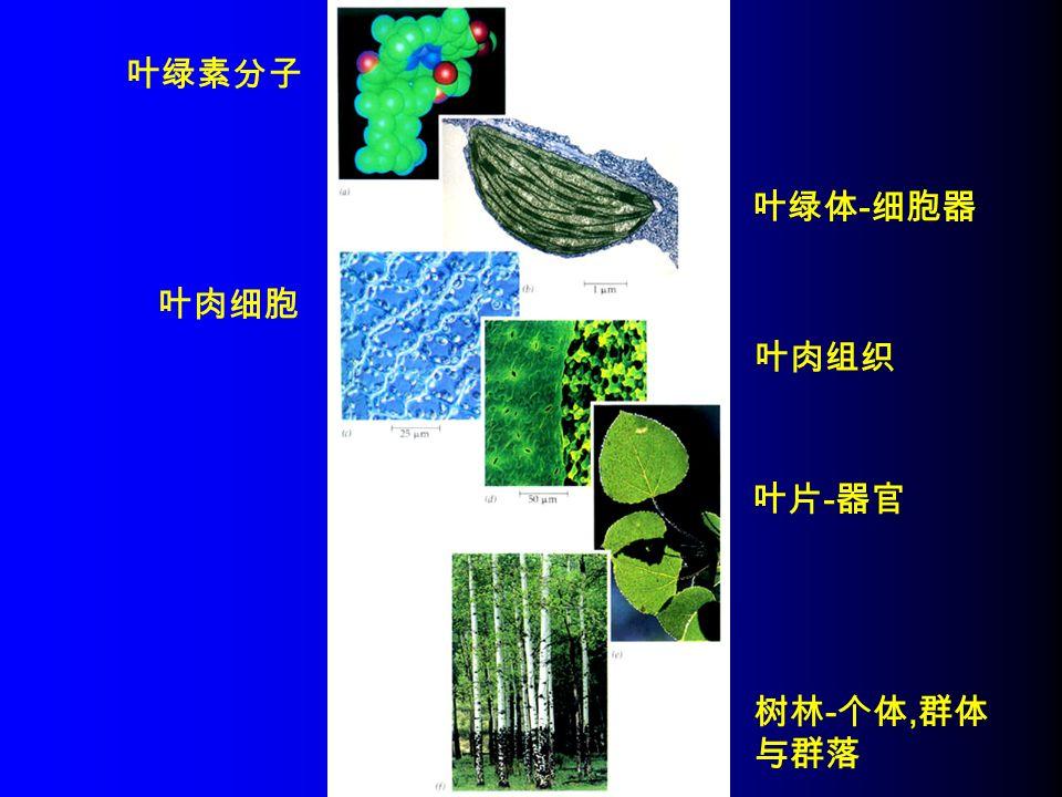 叶绿素分子 叶绿体 - 细胞器 叶肉细胞 叶肉组织 叶片 - 器官 树林 - 个体, 群体 与群落