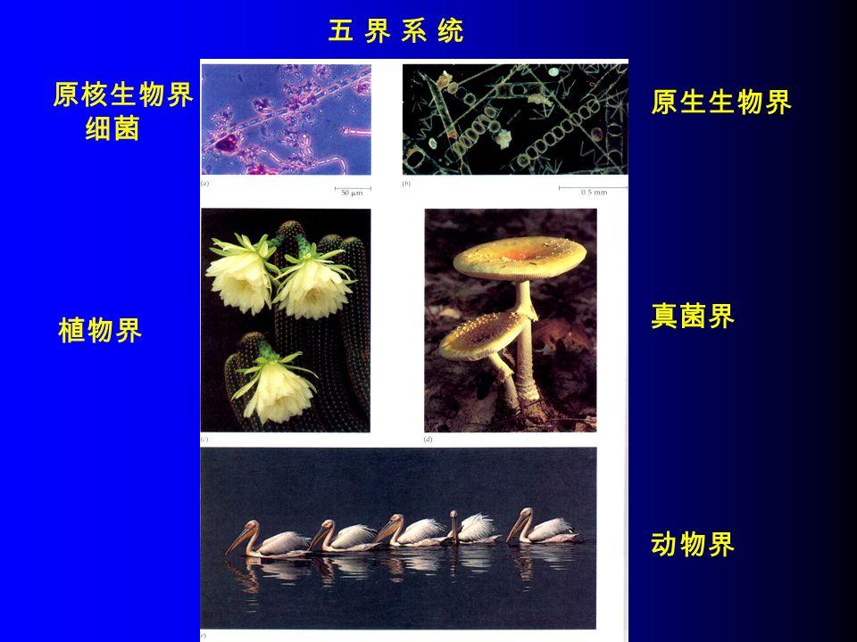 五 界 系 统五 界 系 统 原核生物界 细菌 原生生物界 真菌界 植物界 动物界