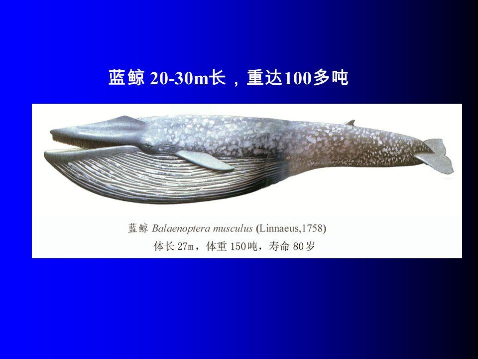 蓝鲸 20-30m 长,重达 100 多吨