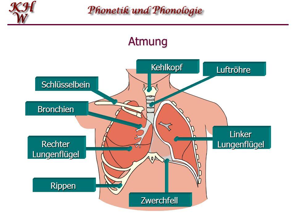 Pulmonischer Luftstrom Bei der Mehrzahl aller Sprachlaute wird der benötigte Luftstrom durch die Aktivität des Atmungssystems hervor- gebracht. Dieses