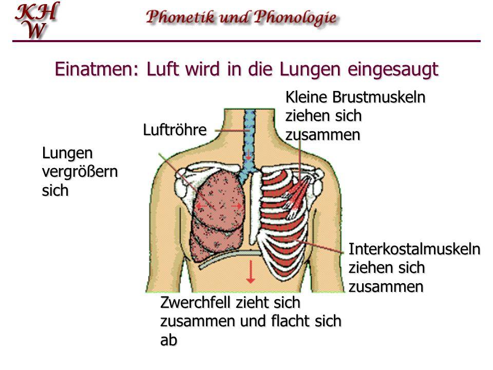 Einatmen Die Lungen können sich zwar nicht aus eigener Kraft bewegen, sie sind jedoch elastisch, so dass sie sich ausdehnen können, wenn eine Kraft vo