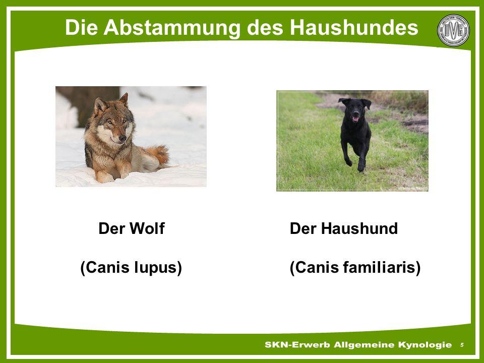 5 Die Abstammung des Haushundes Der Wolf (Canis lupus) Der Haushund (Canis familiaris)