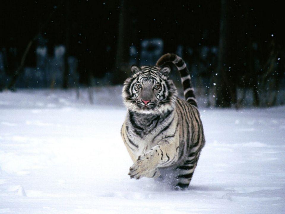 Tiger sind heute die größten Raubkatzen der Erde. Je nach Art und Geschlecht erreichen sie ein Gewicht bis 300 Kg. Das Verbreitungsgebiet der Tiger is