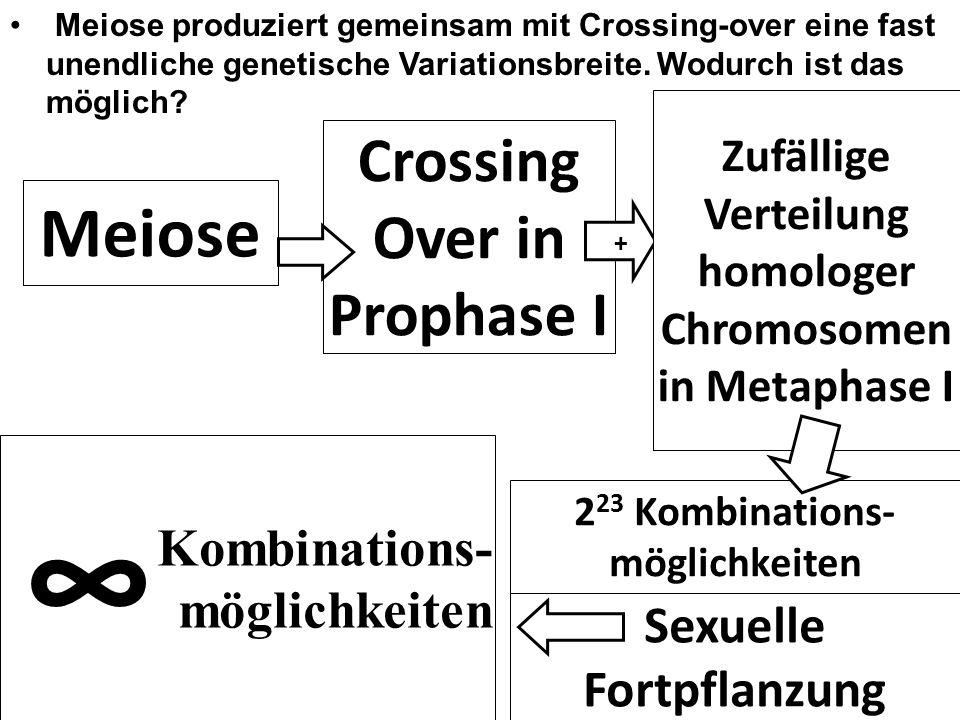 Kombinations- möglichkeiten Meiose produziert gemeinsam mit Crossing-over eine fast unendliche genetische Variationsbreite. Wodurch ist das möglich? S
