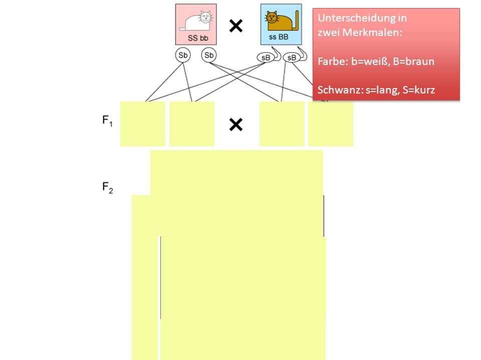 Unterscheidung in zwei Merkmalen: Farbe: b=weiß, B=braun Schwanz: s=lang, S=kurz Unterscheidung in zwei Merkmalen: Farbe: b=weiß, B=braun Schwanz: s=l
