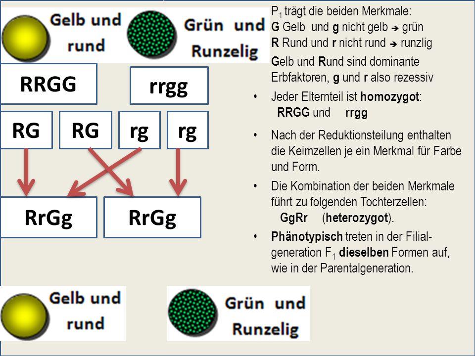P 1 trägt die beiden Merkmale: G Gelb und g nicht gelb grün R Rund und r nicht rund runzlig G elb und R und sind dominante Erbfaktoren, g und r also r