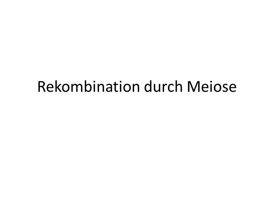 Rekombination durch Meiose