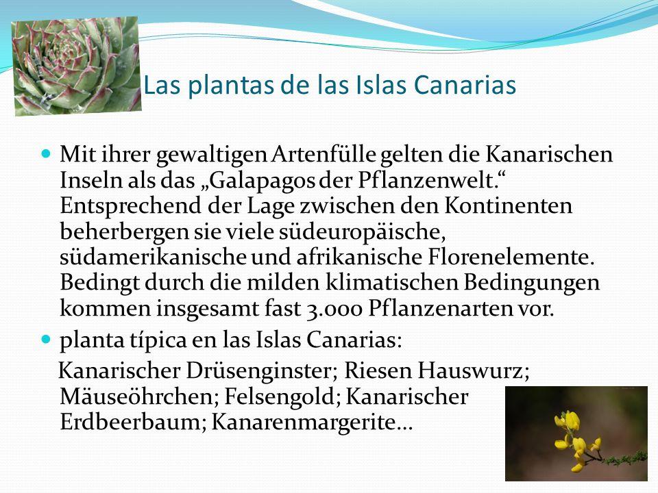 Las plantas de las Islas Canarias Mit ihrer gewaltigen Artenfülle gelten die Kanarischen Inseln als das Galapagos der Pflanzenwelt. Entsprechend der L