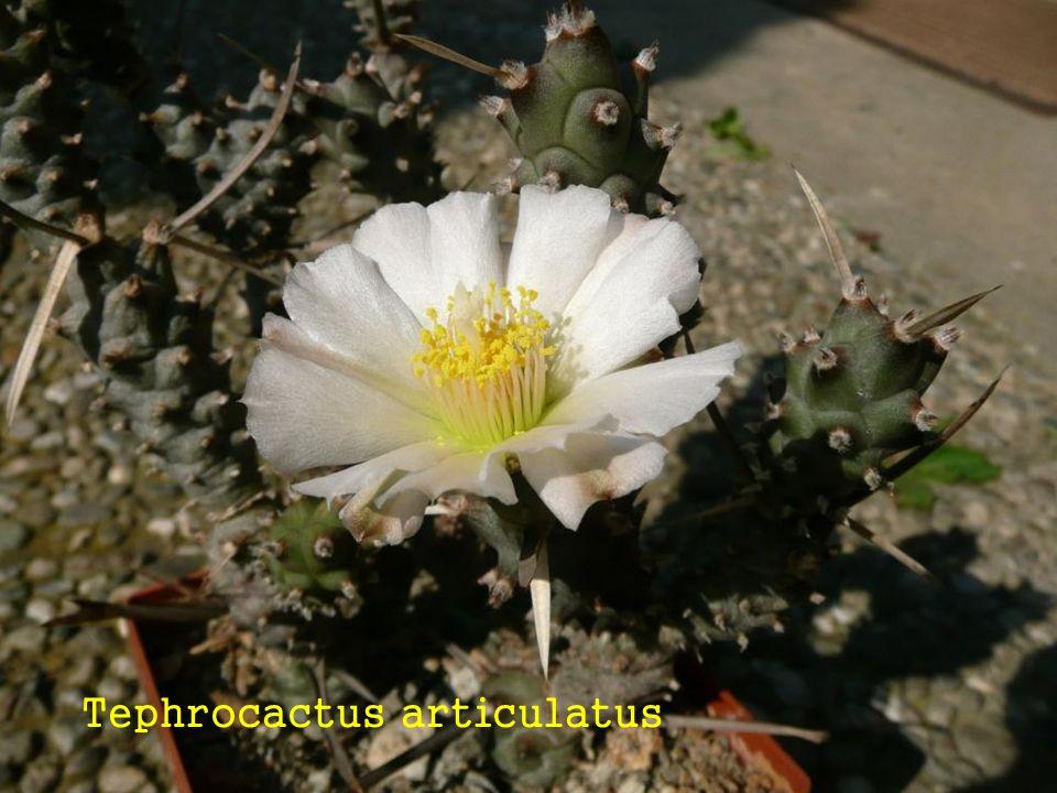 Mammillaria seitziana ?