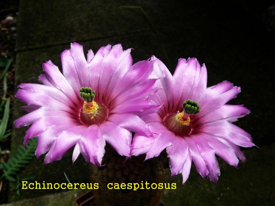 Echinocereus caespitosus