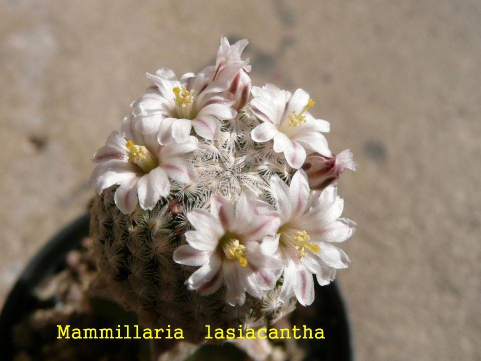 Mammillaria fraileana