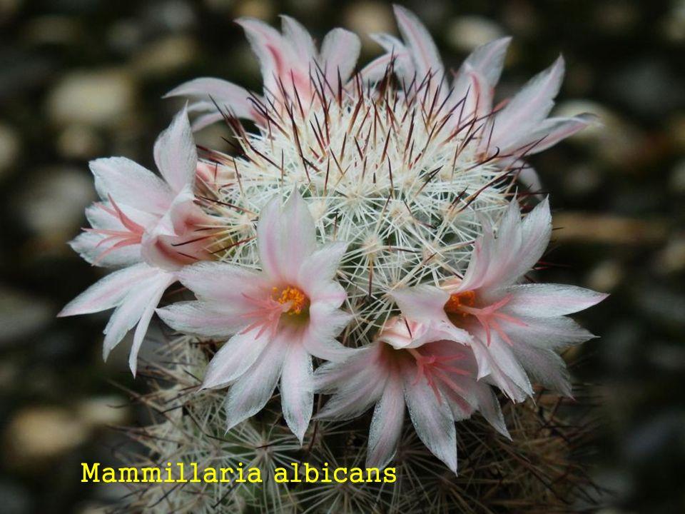 Mammillaria spec ….