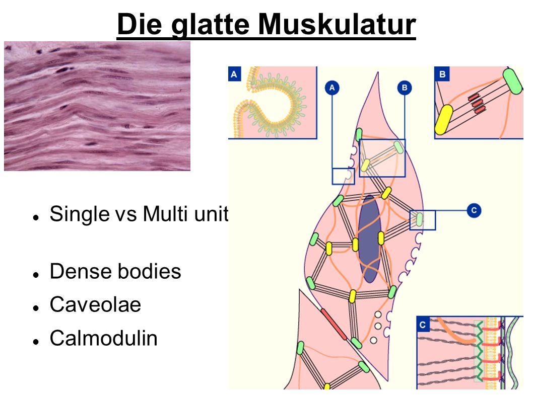 Die glatte Muskulatur Single vs Multi unit Dense bodies Caveolae Calmodulin