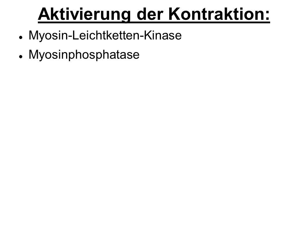Aktivierung der Kontraktion: Myosin-Leichtketten-Kinase Myosinphosphatase