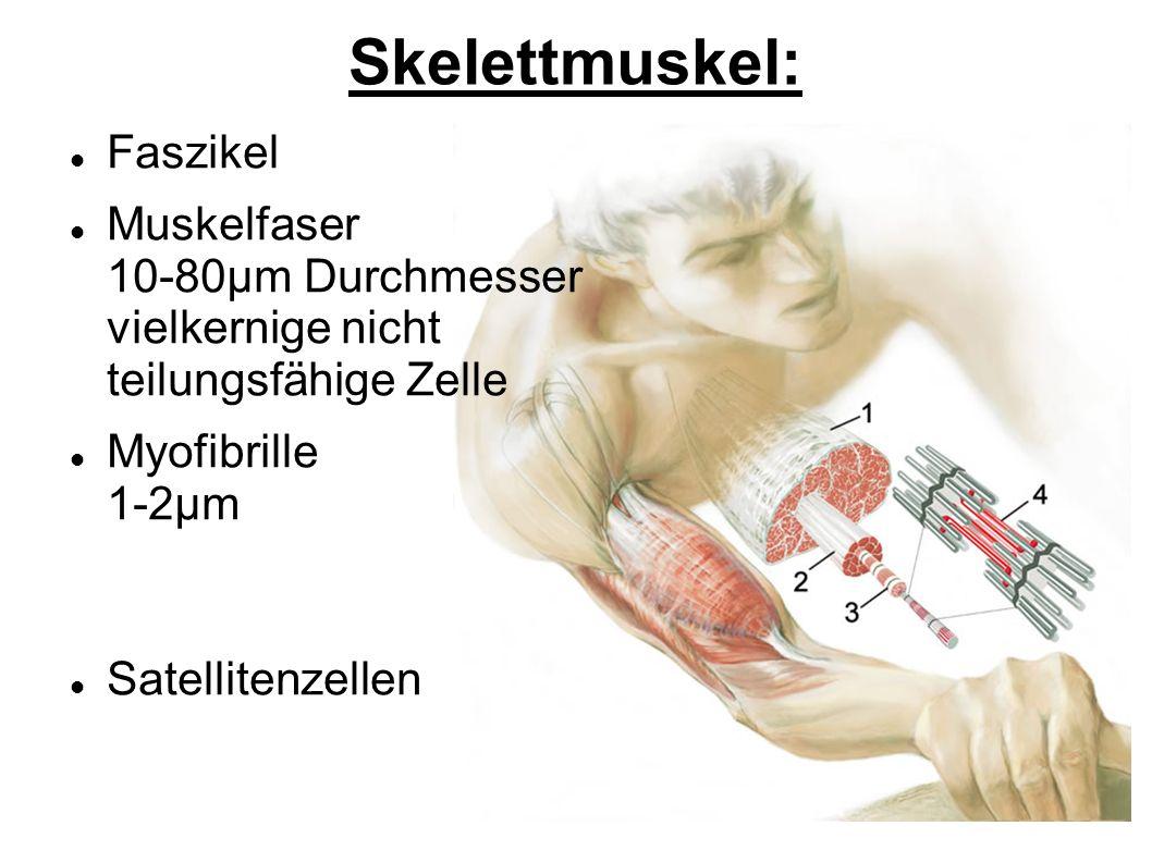 Skelettmuskel: Faszikel Muskelfaser 10-80μm Durchmesser vielkernige nicht teilungsfähige Zelle Myofibrille 1-2μm Satellitenzellen