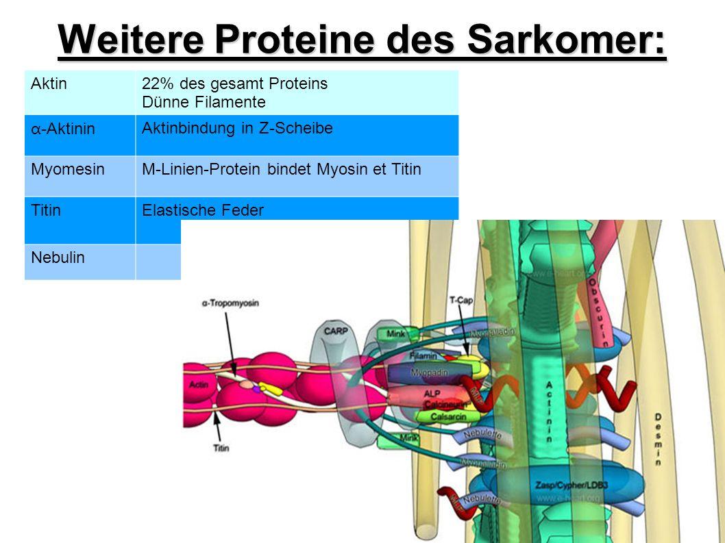Weitere Proteine des Sarkomer: Aktin22% des gesamt Proteins Dünne Filamente α -Aktinin Aktinbindung in Z-Scheibe MyomesinM-Linien-Protein bindet Myosin et Titin TitinElastische Feder Nebulin